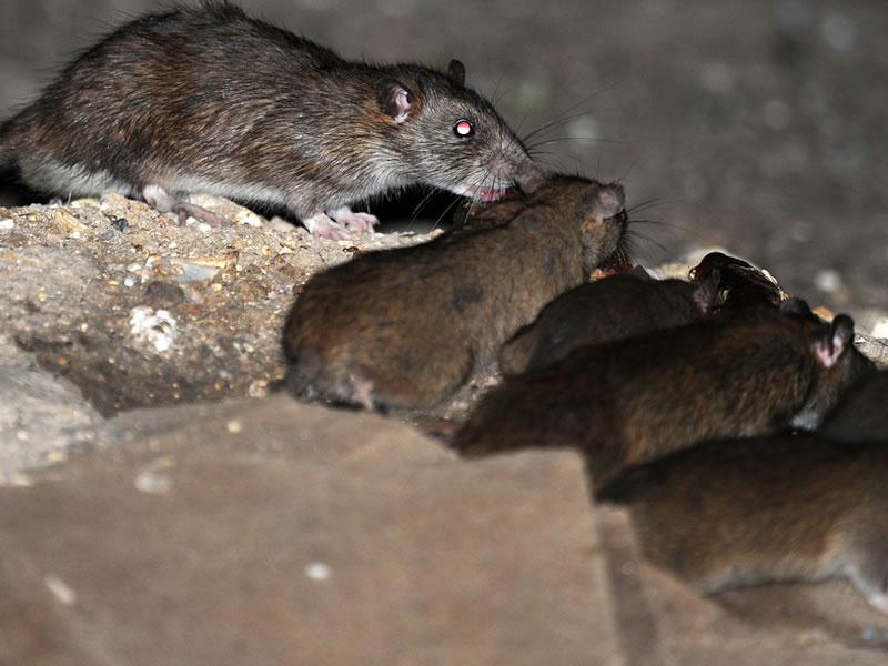Cierran plazas en par s por plaga de ratas nortedigital for Ahuyentar ratas jardin